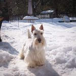 Gunner is a Wheaten Scottie who will turn two years old on the Fourth of July!