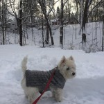 Riley is a handsome and loving seven-year-old Westie who loves sweaters, jackets, and all things tartan.