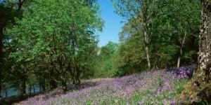 bluebell-wood-loch-eck-argyll